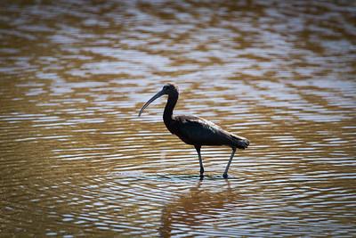 03_Everglades - Glossy Ibis