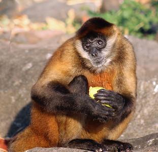 Monkey, Central American or Geoffroy's Spider Monkey