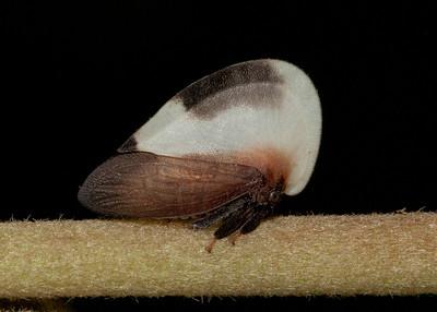 Hemiptera (Auchenorrhyncha)