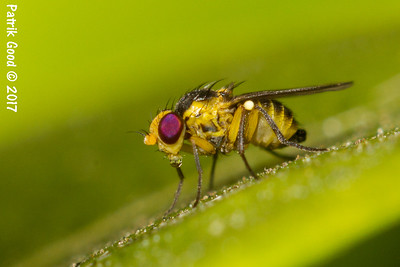 Yellow-marked Fly
