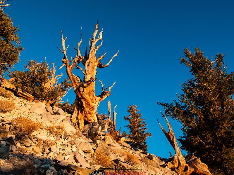 Bristlecone Pine forest California 9