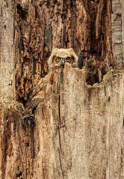 Great Horned Owl 002.jpg