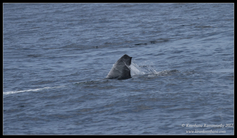 Blue Whale tail end while surface feeding krill, Whale Watching trip, San Diego County, California, September 2012