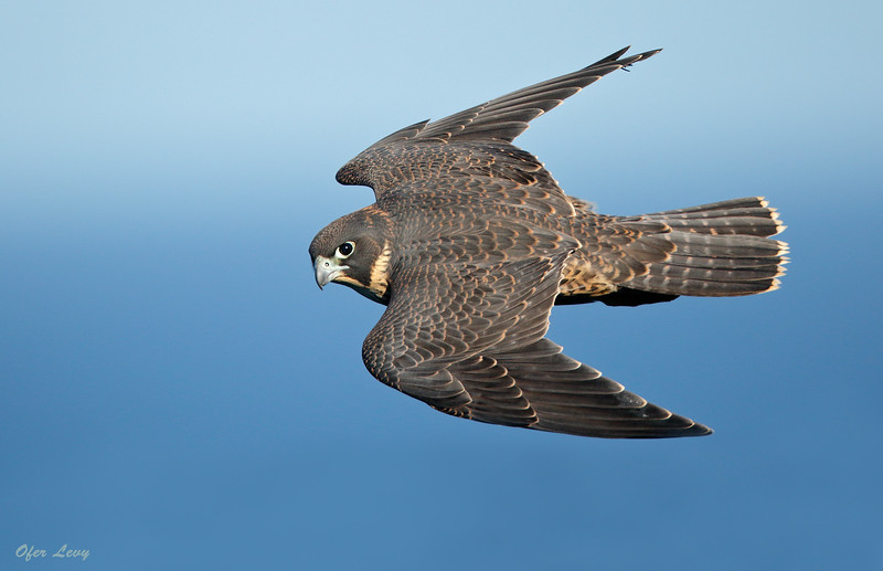 Peregrine Falcon 13.jpg