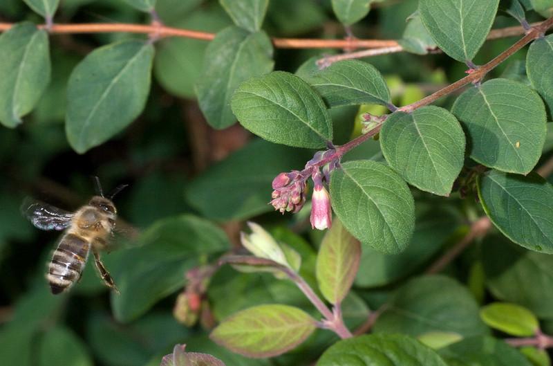 Bee in flight in snowberry (symphoricarpos chenaultii Hancock) bush.