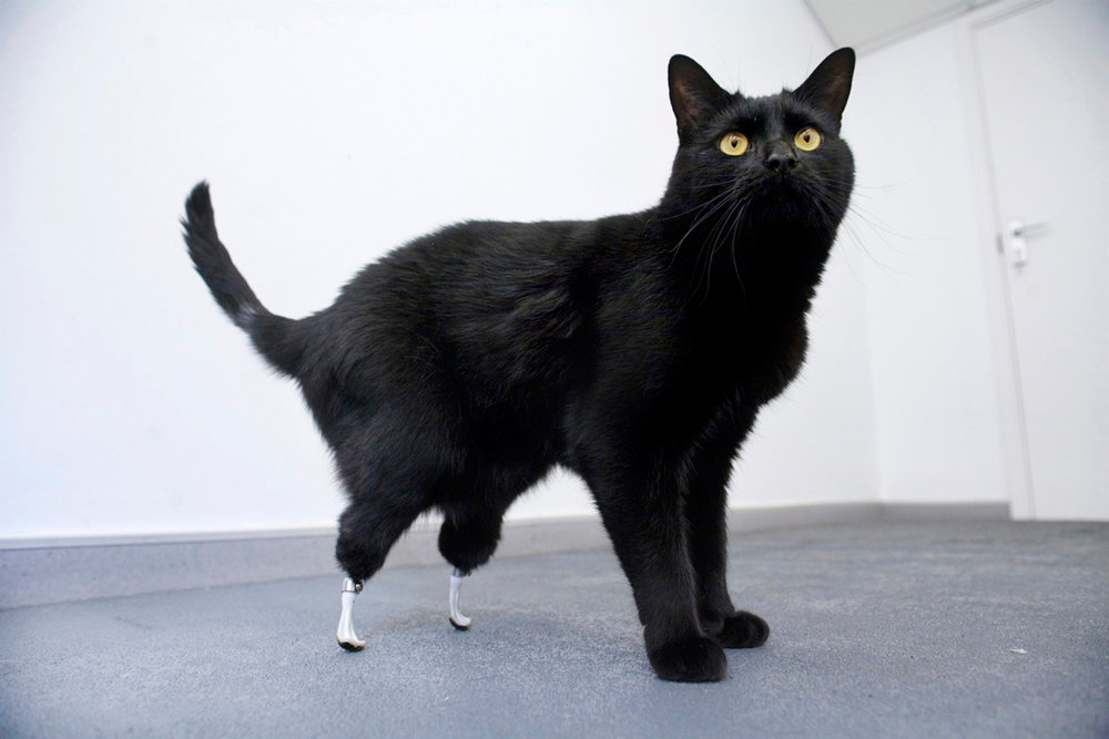Description of . Oscar the cat, which had its hind legs severed by a combine harvester, stands in this undated handout. Two-year-old Oscar can walk again after being fitted with prosthetic limbs in a world-first operation. Oscar was given a pair of artificial limbs by veterinary surgeon Noel Fitzpatrick, using a technique developed by a University College London team.  REUTERS/Handout