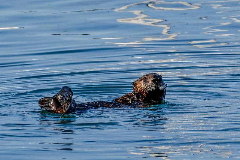Sea Otter Redux 1.jpg