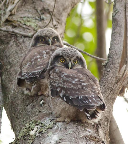 Northern Hawk Owl baby juvenile Owl Ave Sax-Zim Bog MN Northern Hawk Owl two babies juveniles Owl Avenue Sax-Zim Bog MN IMG_1283.jpg
