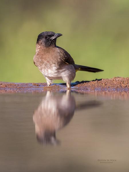 Dark-capped Bulbul, Zimanga, South Africa, May 2017-4.jpg