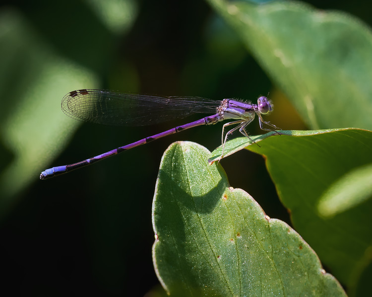Purple Damselfly Resting During a Hot Day