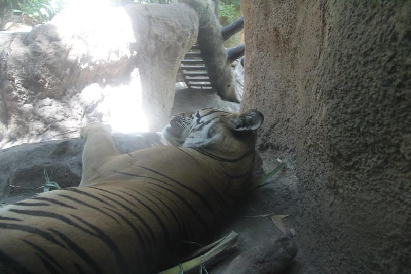 20170807-159 - San Diego Zoo - Tiger.JPG