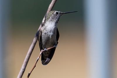 2021_8_1 Hummmingbird at Davis Cannery
