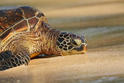 Hawaiian Green Sea Turtle.  © 2020 Kenneth R. Sheide