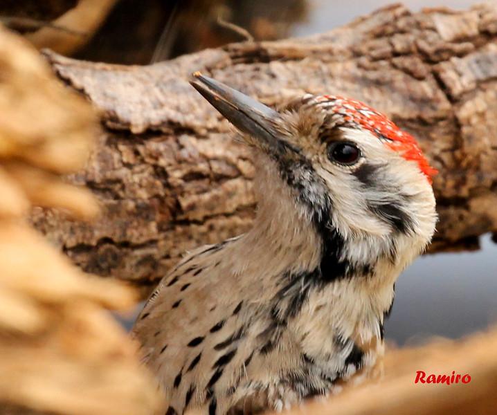 woodpeckerIMG_2851.jpg