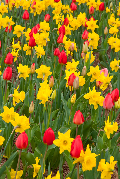 April 22_Tulips&Daffodils_0200.jpg