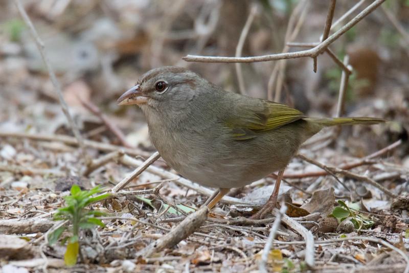 Olive Sparrow South Texas 2020-2.jpg