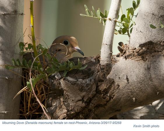 Mourning Dove F95268.jpg