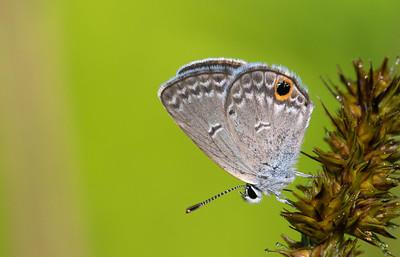 Ceraunus Blue