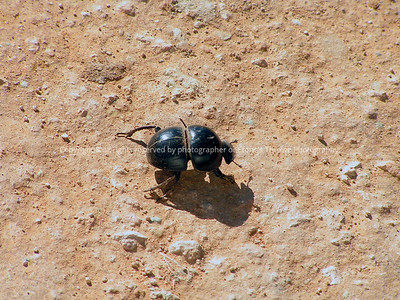 025-dung_beetle-addo_eleph_np_so_africa-14jul06-2690