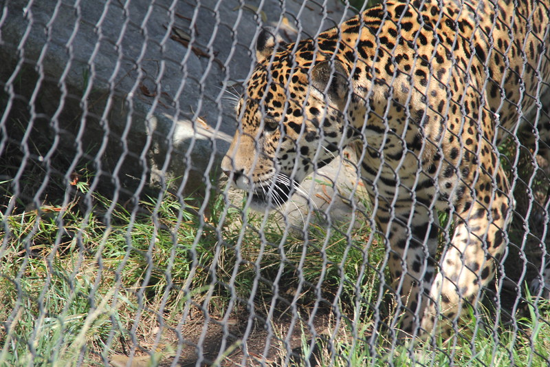 20170807-083 - San Diego Zoo - Leopard.JPG
