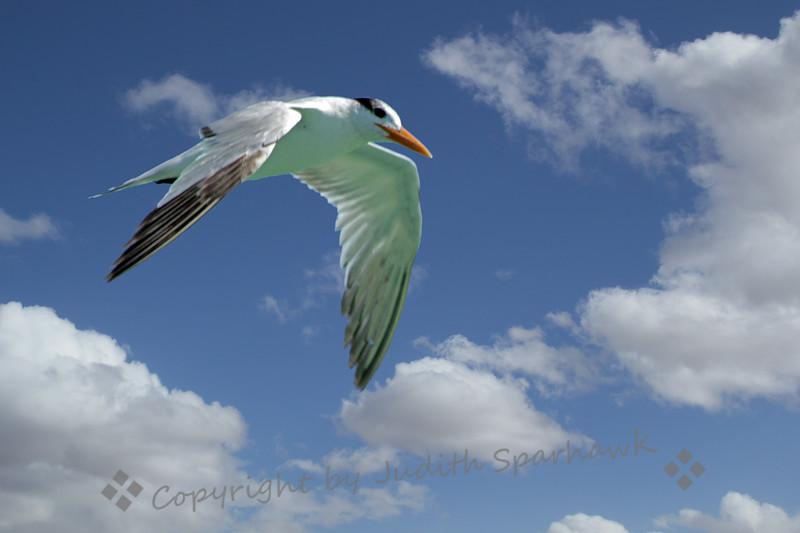 Royal Tern Flying In ~ Dania Beach Pier, Florida.