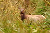 Roosevelt Elk (Cervus canadensis roosevelti) in the Queets River Valley, Olympic National Park, WA. © 2006 Kenneth R. Sheide