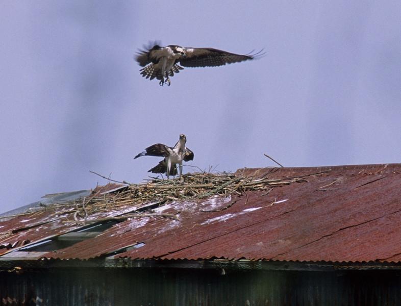 osprey landing 2.jpg