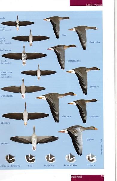 Identyfikacja ptaków