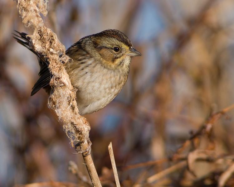 Swamp Sparrow  Huntley Meadows