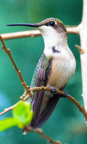 Ruby-throated humming bird, 5