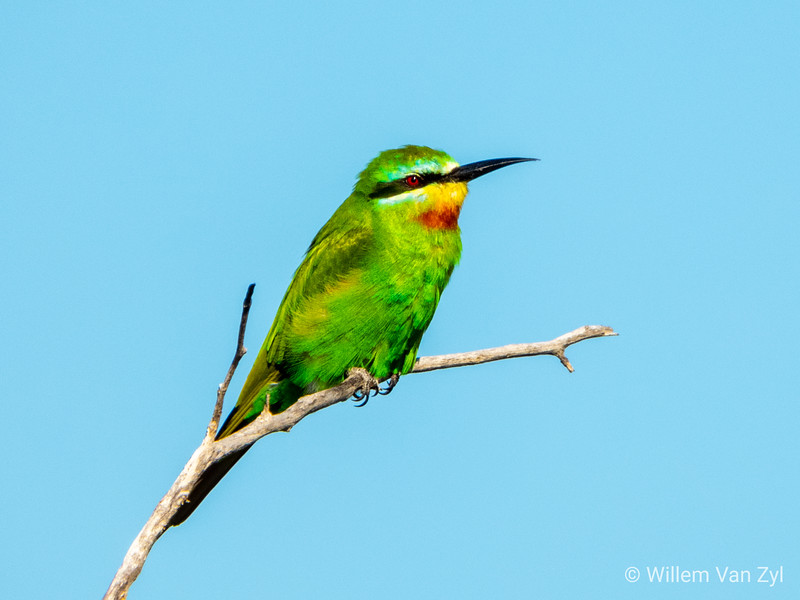 20190219 Blue-Cheeked Bee-Eater (Merops persicus) near Thabazimbi, Limpopo