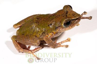 "Pristimantis sp. (""phoxocephalus"")"