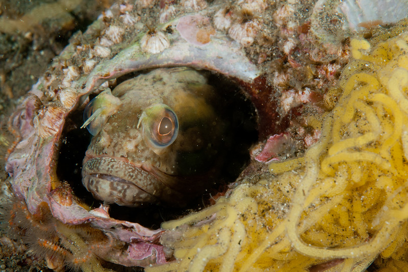Sarcastic fringehead in a shell, covered with California Sea Hare eggs.  Channel lslands, CA.