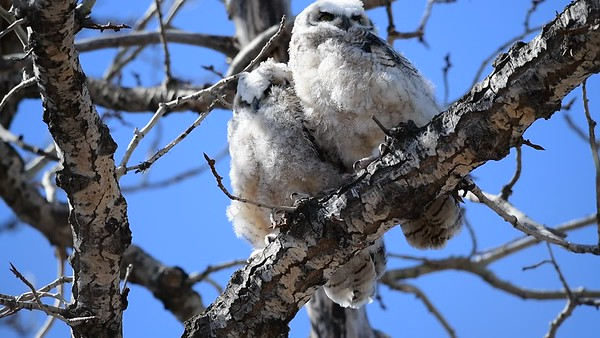 4-19-18 Video - Great Horned Owlets