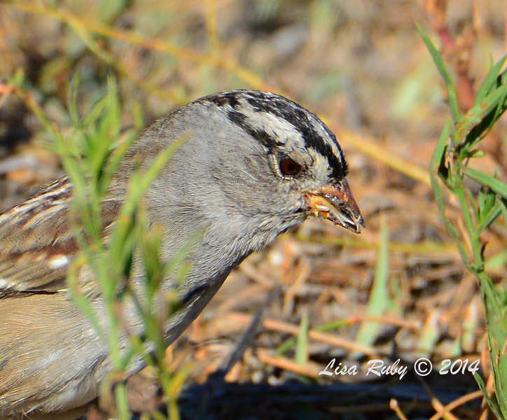 White-crowned Sparrow - 10/12/2014 - Lake Cuyamaca
