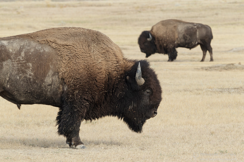 Two male plains bison, Grasslands National Park, Saskatchewan