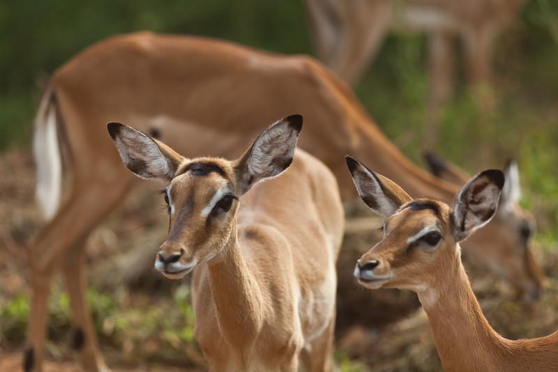 Impalas (Lake Mburu NP)