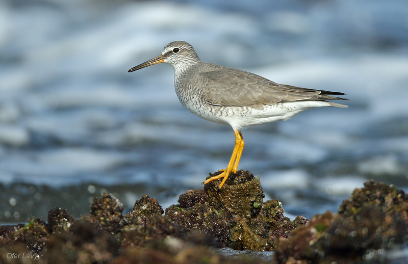 Grey-tailed Tattler breeding 2 MASTER.jpg