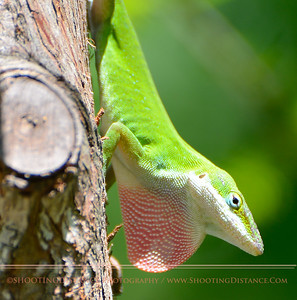 Green Anole, High Island, TX
