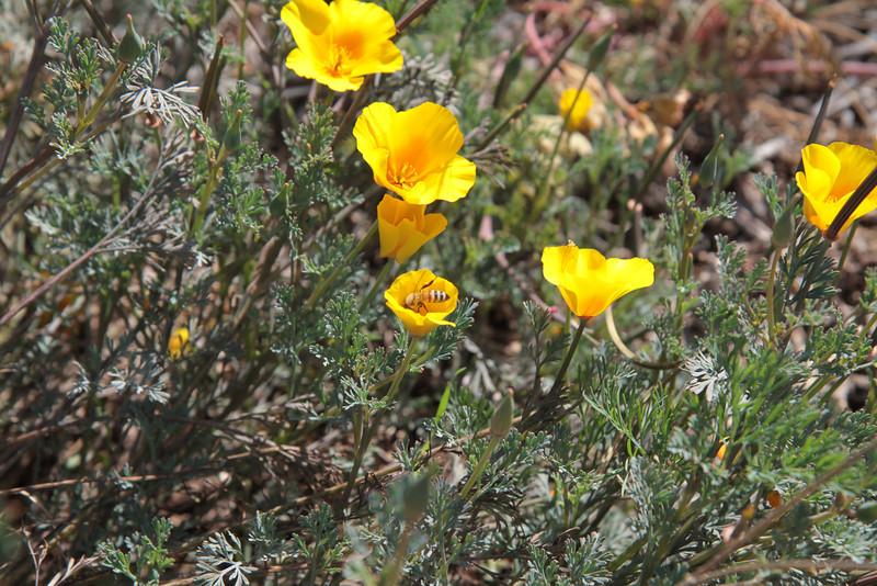 California Poppy, Eschscholzia californica with bee.