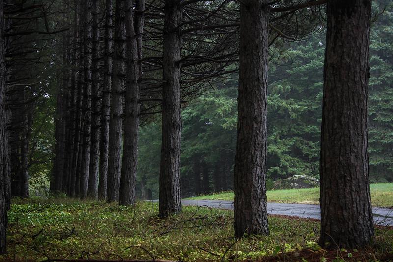 pine-row.jpg