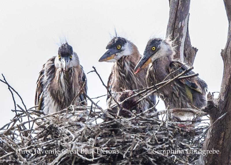 _DSC2235Three Juve Great Blue Herons nest b.jpg