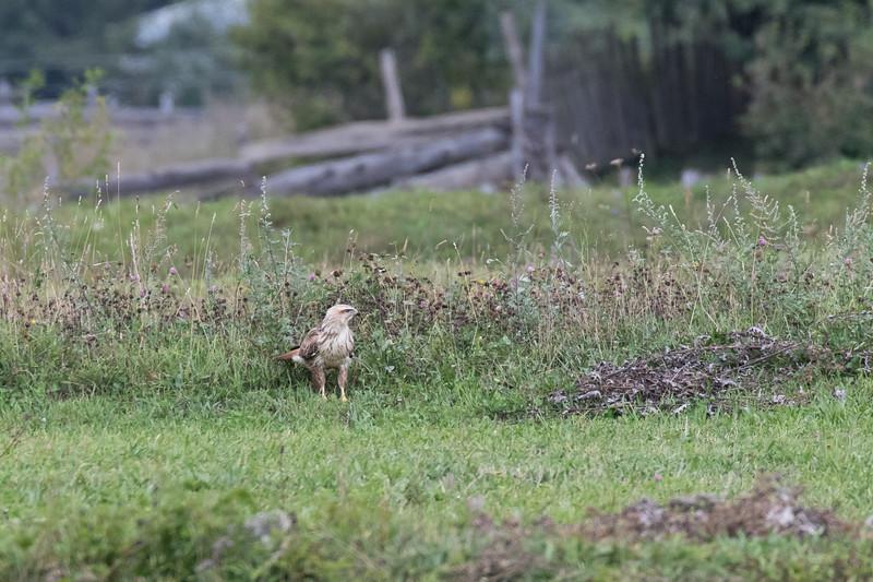 Becho, arendbuizerd, long-legged buzzard
