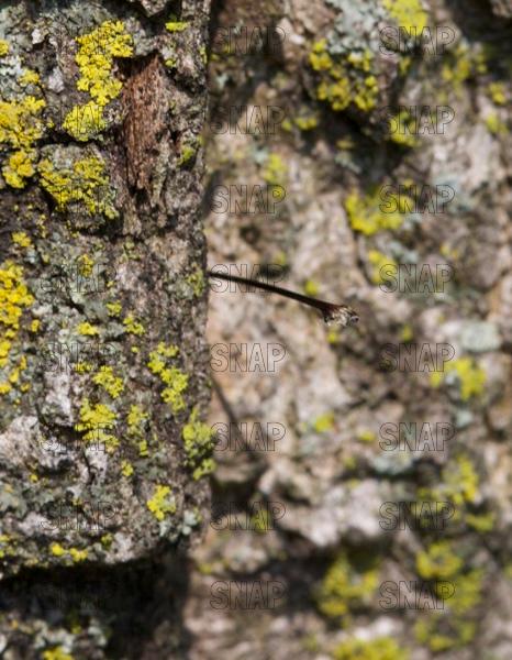 Pigeon Horntail (Tremex columba) ovipositor left in tree bark.