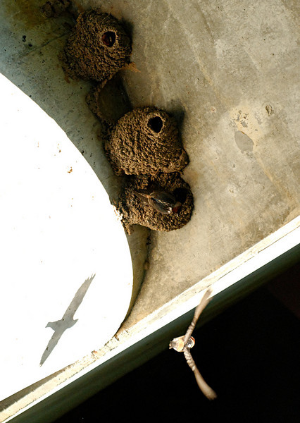 Cliff swallows and their mud nests.  Under a bridge.