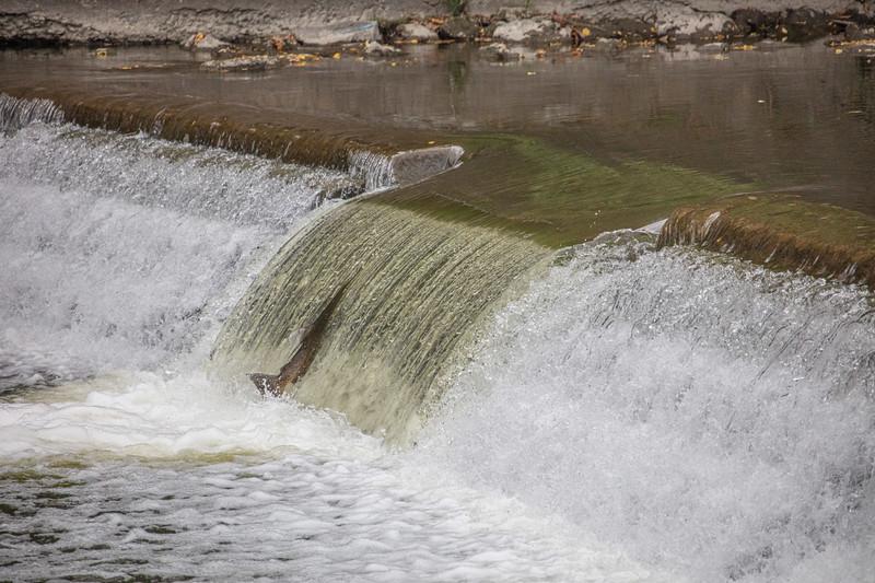 salmon upstream (12 of 48).jpg