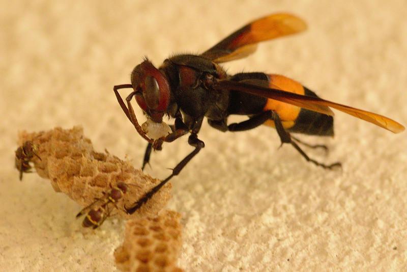 Wasp-predation-on-paper-wasp-03.jpg