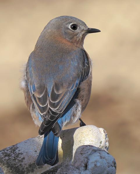 sx50_bluebird_boas_175.jpg