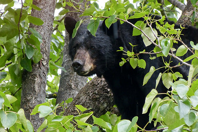 Mother Black Bear in a Cottonwood Tree in the Rain June 2014, Cynthia Meyer, Juneau, Alaska