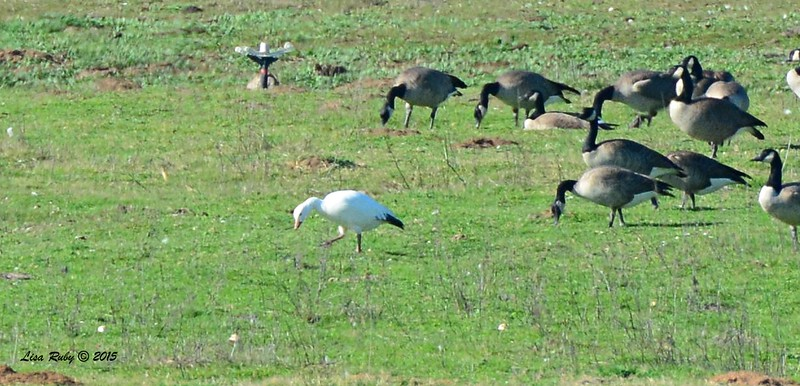 Snow Goose (and Canada Geese) - 1/19/2015 - Rangeland Road